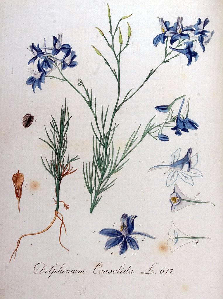 Szarkaláb - Delphinium-consolida