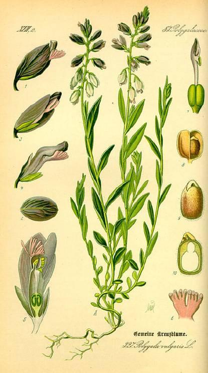 Keserű pacsirtafű - Polygala amarum