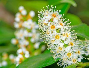Babérmeggy virága